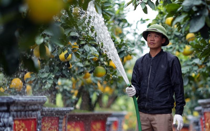 Vườn bưởi cảnh trị giá hàng tỷ đồng vào vụ Tết