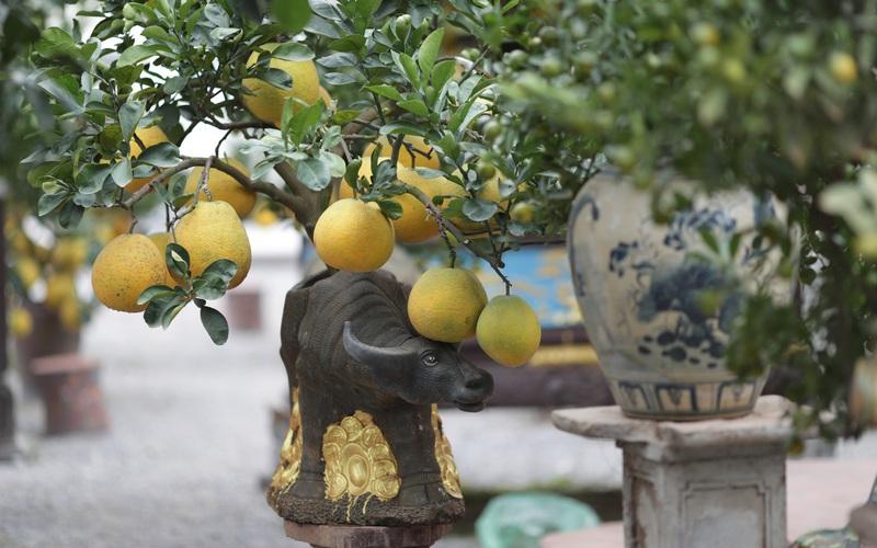 """Đón năm Tân Sửu, siêu phẩm cây cảnh """"Trâu cõng bưởi"""" đã không có mà bán"""