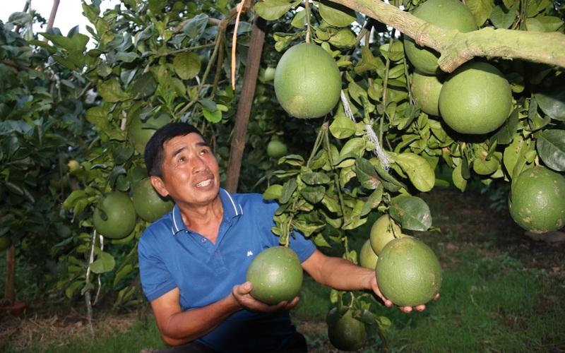 Bỏ ngô trồng bưởi Da Xanh, lão nông có cơ ngơi khang trang
