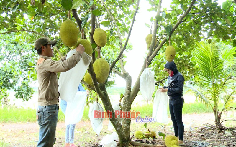 Bình Phước: Trồng mít gì ra nhiều trái nứt cả cây, ai cũng chê bán giá rẻ mà vẫn đút túi 4 tỷ/năm