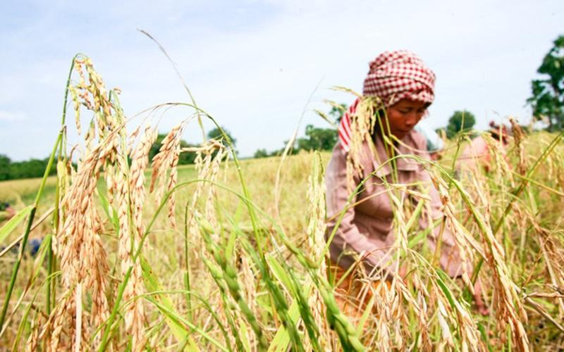 Hiệu quả từ dự án lúa gạo thân thiện tại Campuchia