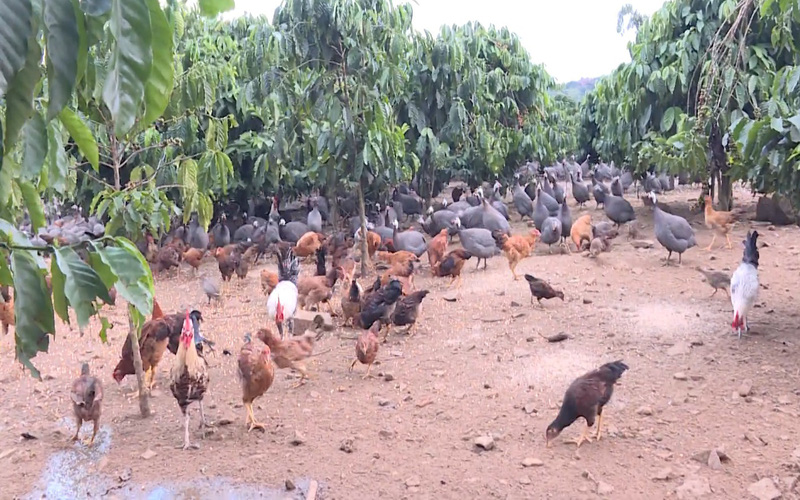 Nông dân Lâm Đồng nuôi gà sao đặc sản dưới tán cà phê