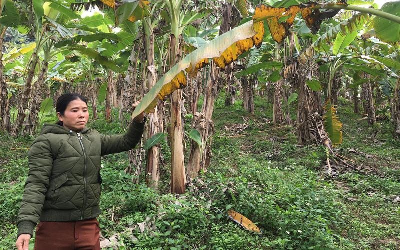 Phú Thọ: Giống chuối phấn vàng-tên nghe lạ, ăn ngon cỡ nào mà nông dân chặt buồng đến đâu bán hết đến đó?