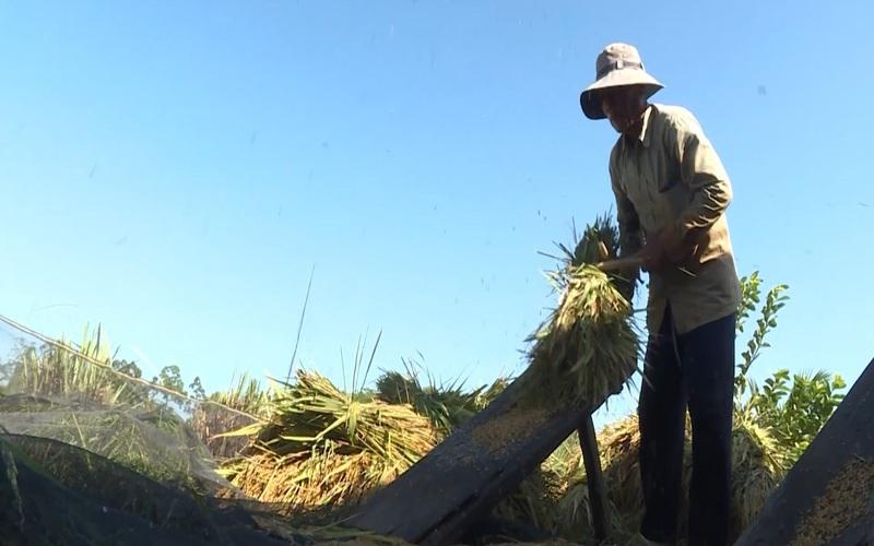 Lúa mùa, nét đẹp văn hóa nông nghiệp Nam bộ
