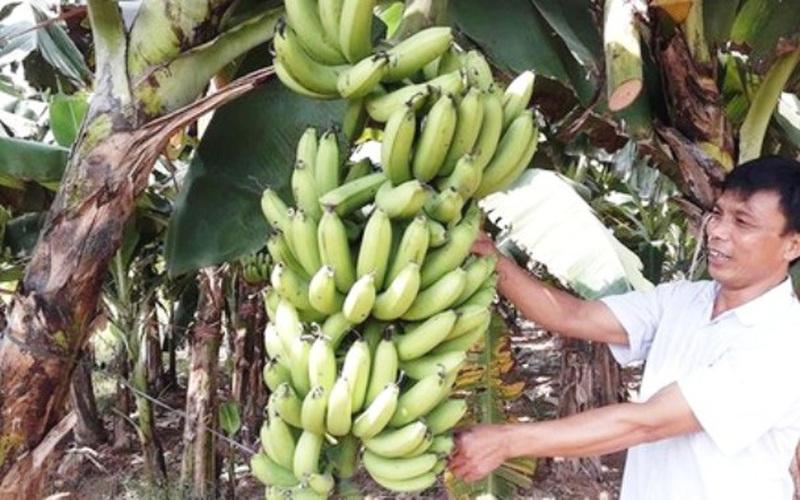 Hà Nội sẽ bố trí 227 tỷ đồng phát triển vùng chuối xuất khẩu