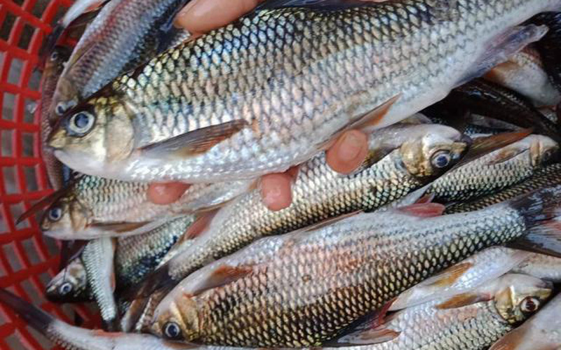Loài cá mát kỳ lạ, của hiếm, cực ngon ở vùng rừng núi Quảng Trị