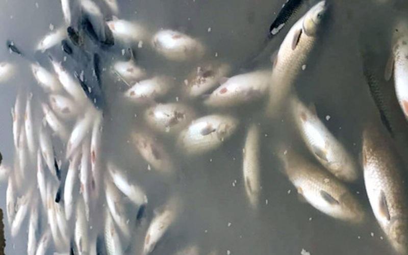 Cá sông Mã chết dạt vào bờ