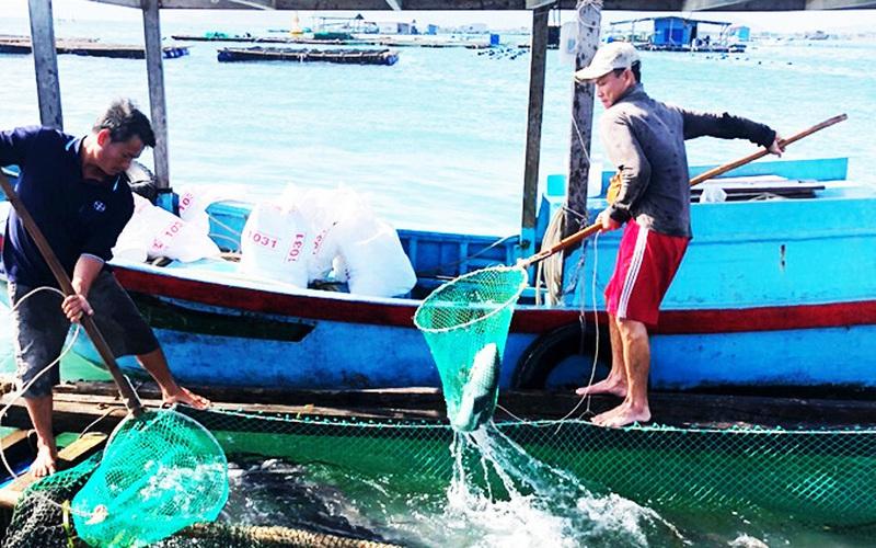 Khánh Hòa: Đã nuôi thành công loài cá hồng Mỹ và cá bớp bán đắt tiền