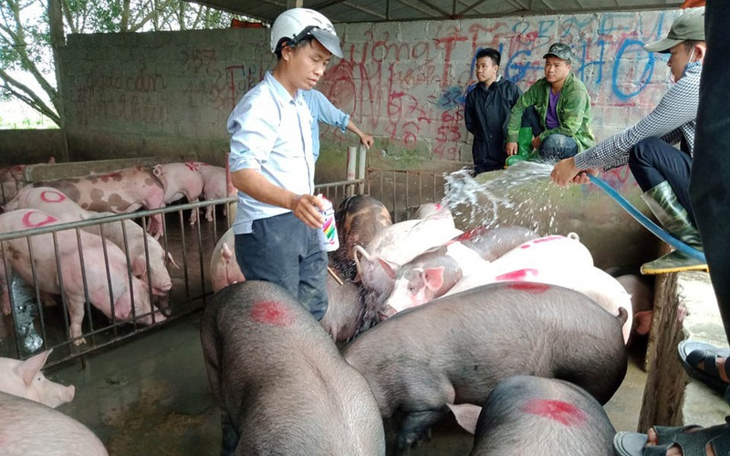 Chợ lợn lớn nhất phía Bắc: Mua bán sôi động, giá lợn hơi từ 99.000 - 102.000 đồng/kg