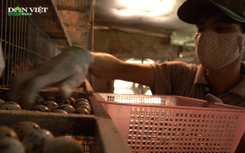 Bí quyết nuôi chim cút giống thu tiền tỷ mỗi năm