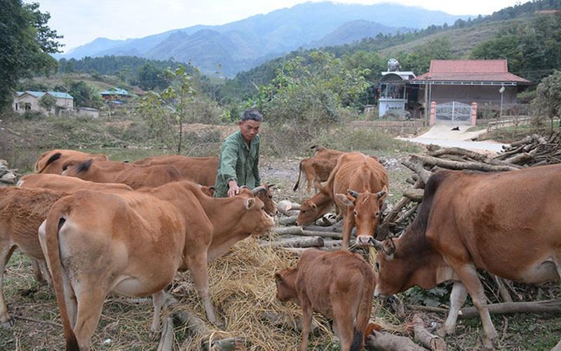 Điện Biên: Nuôi bò sinh sản sau 5 năm xây được nhà mới
