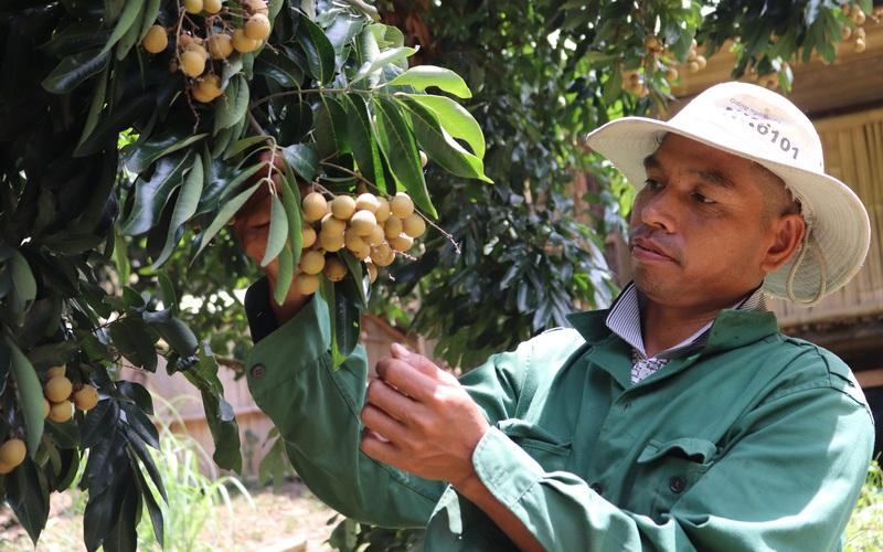 """Sơn La: Bí quyết trồng nhãn ghép """"đẻ"""" trên 300 triệu đồng mỗi năm"""