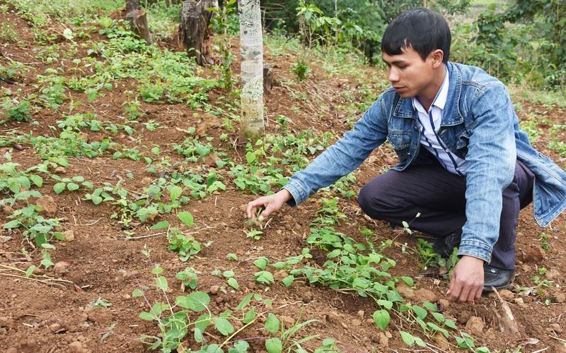 Một vùng đất thuốc ở Kon Tum, dân sẽ đổi đời nhờ trồng loài sâm này, cứ 1ha cho thu 400 triệu