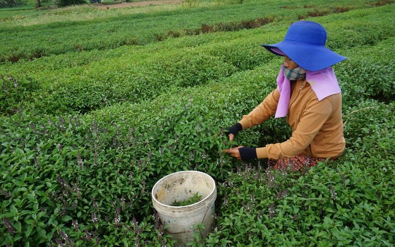 Đà Nẵng: Nắng nóng đỉnh điểm, nông dân gồng mình cứu rau