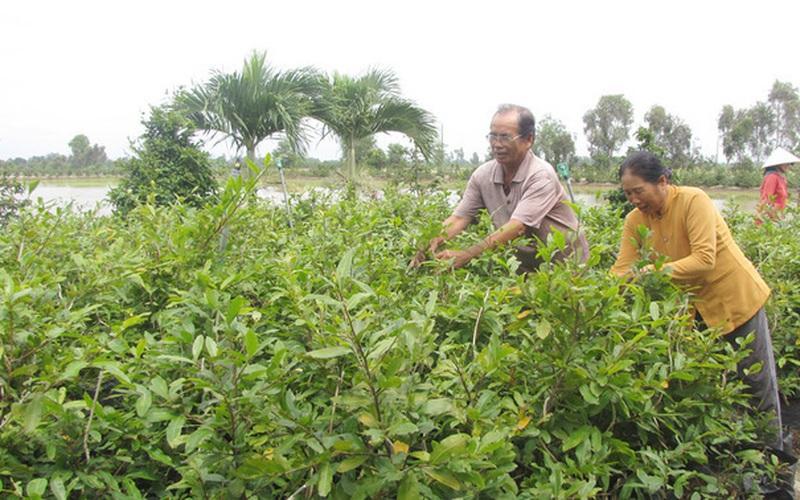 Long An: Trồng cây chỉ nở mùa xuân, dân Bình Lợi bỏ túi nửa tỷ đồng mỗi năm