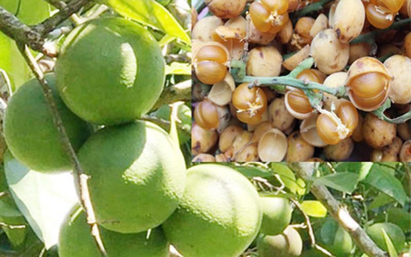 """Quảng Ngãi: Ở """"vương quốc"""" quế có 2 loại trái rừng """"bắt mắt lạ tai"""" mà lại ngon miệng"""
