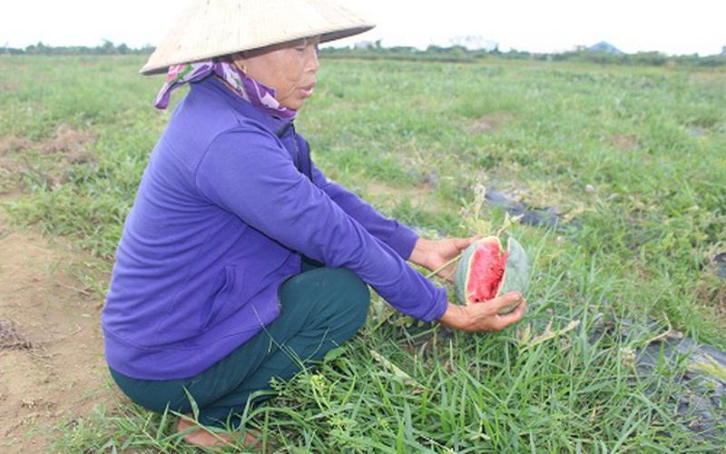 Hậu mưa bão, nông dân Hà Tĩnh thẫn thờ nhìn dưa hấu  nứt toác, đành hái cho bò ăn