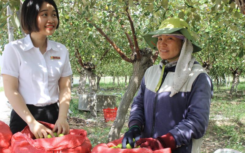 Khánh Hòa: Được Agribank tiếp sức, nhiều nông dân trồng táo vươn lên thoát nghèo