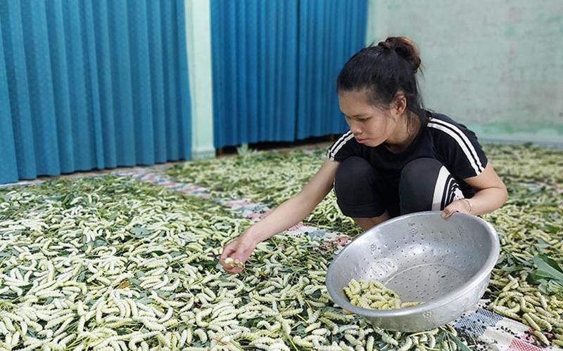 Quảng Bình: Nuôi thứ tằm ăn lá sắn, làm thịt ăn rất bổ, dân ở đây kiếm tiền rủng rỉnh