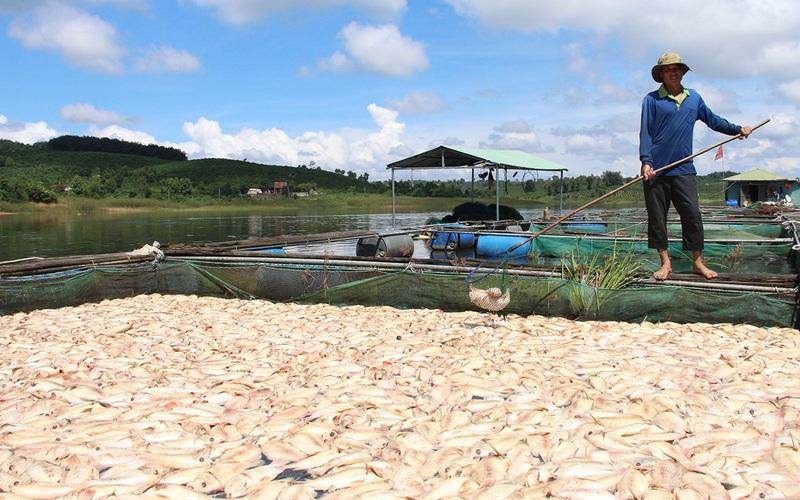26 tấn cá chết do mưa lớn