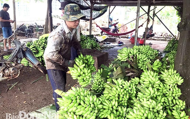 """Tỉnh Đồng Nai chính thức bước vào vụ thu hoạch chuối lớn nhất, thương lái không mặn mà, nông dân chỉ trông vào """"cửa"""" này"""