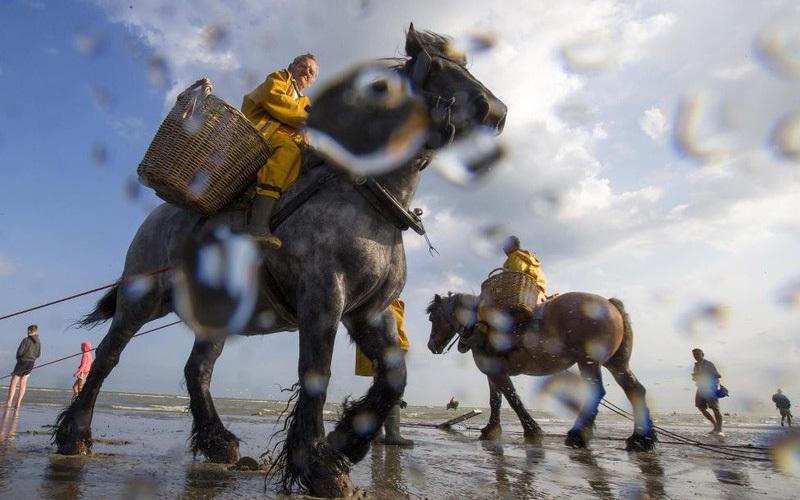 Chống chọi cái rét, ngư dân tại Bỉ sử dụng... ngựa để đánh bắt tôm cá