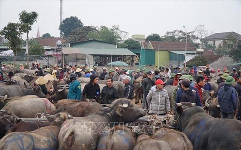 Nghệ An: Rét tê tái, 4 giờ sáng đi chợ trâu bò đông nghìn nghịt, loáng cái 1 thương lái đã gom được 40 con