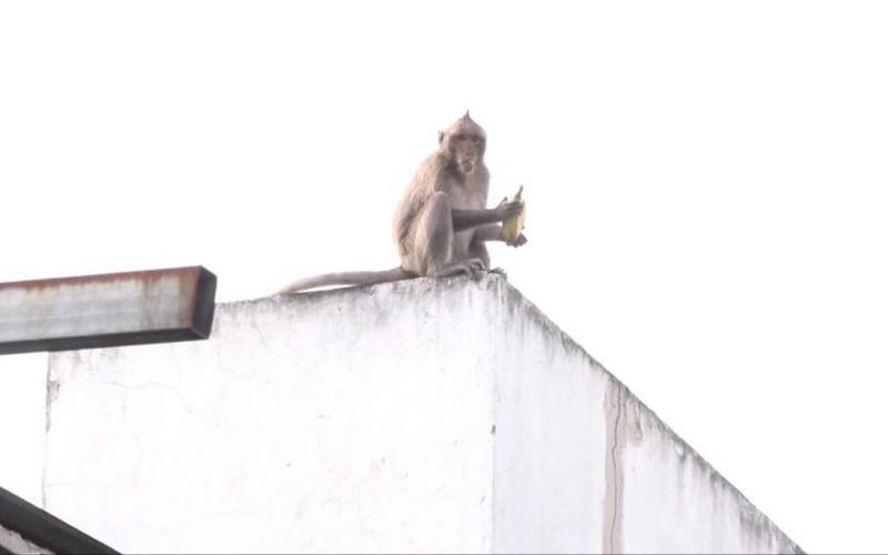 Sẽ đưa đàn khỉ hoang trộm trái cây, bê cả ông địa tháo chạy ở Sài Gòn về môi trường tự nhiên