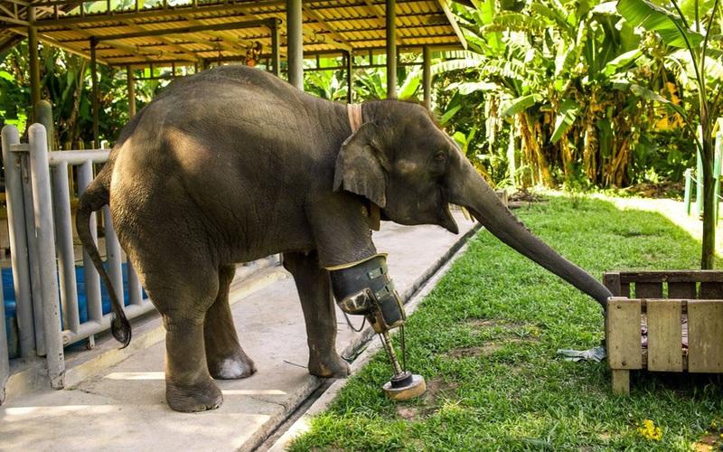 Câu chuyện cảm động về Mosha, nàng voi thiếu một chân