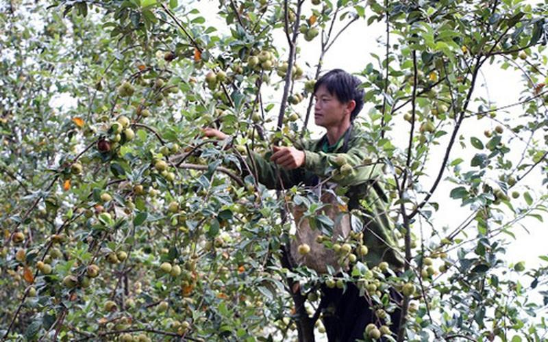 Lợi dụng đất đồi dốc để trồng cây ăn quả, huyện nghèo ở Sơn La vượt khó thành công