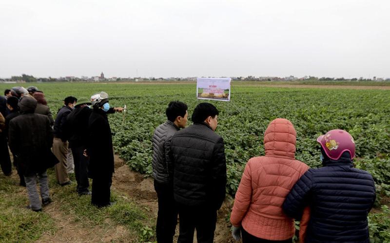 Nam Định: Trồng giống khoai tây từ Hà Lan, nông dân thu nhập hàng trăm triệu