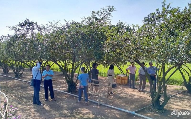 Tiền Giang: Vườn táo của một ông nông dân có gì đặc biệt mà khiến nhiều người kéo đến xem
