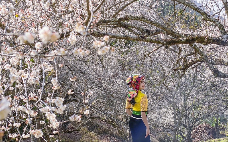 Hoa mơ nở trắng tuyệt đẹp ven cánh rừng Mộc Châu