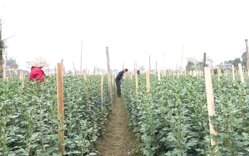 Yên Bái: Dù bị tác động bởi Covid-19, các nhà vườn hoa vẫn rộn ràng chuẩn bị phục vụ Tết