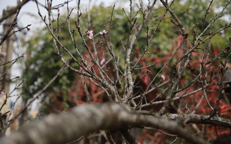 Đào rừng gắn tem xuống phố, đợi ngày nở hoa đón Tết