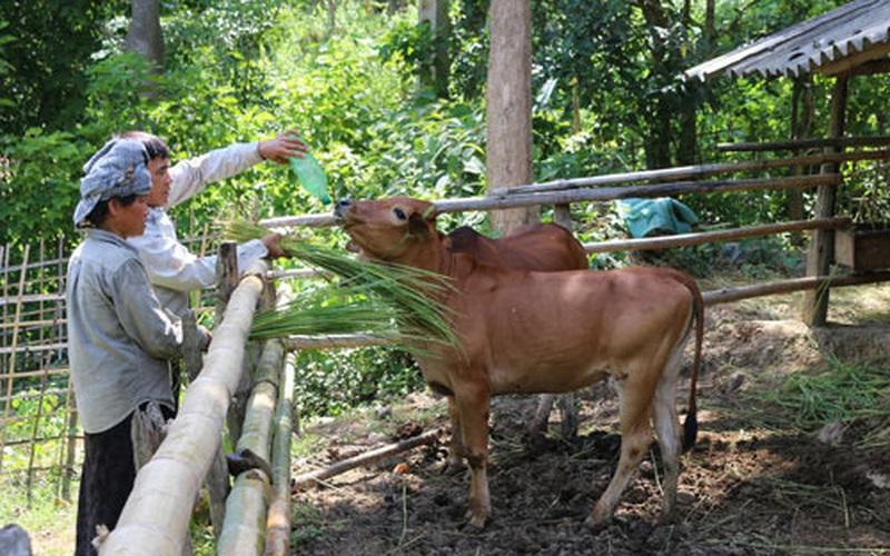 Bỏ trồng ngô lên núi nuôi bò, lão nông dân tộc Thái sở hữu tài sản lớn