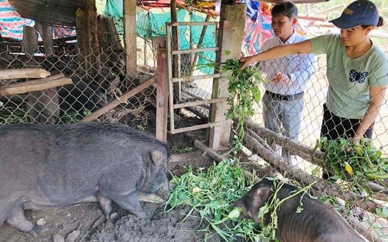 Quảng Ngãi: Giống lợn nghe tên lạ dễ nuôi, 3 tháng xuất bán được lợn con, dân ở đây thu tiền sòn sòn