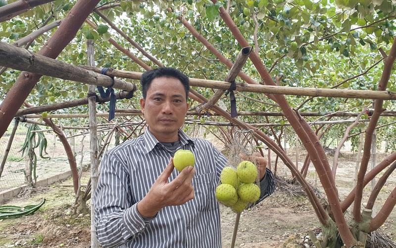 """Thái Bình: Một ông nông dân hé lộ bí quyết trồng táo 10 quả to đẹp cả 10, ruồi vàng đứng ngoài """"khóc thét"""""""