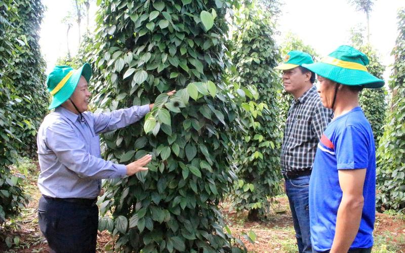 Kết nối công - tư tăng lực khuyến nông, giúp nông dân trồng hồ tiêu sạch, trồng lúa thông minh
