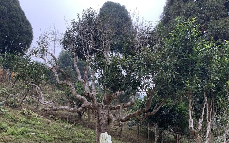 """Yên Bái: Xót xa """"cụ"""" chè tổ Suối Giàng hơn 400 tuổi đang chết dần, """"thủ phạm"""" do đâu?"""