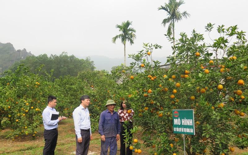 Hòa Bình: Khá giả nhờ trồng cam Cao Phong, nuôi bò sinh sản