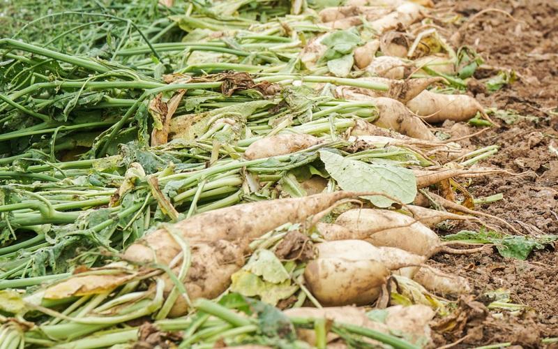 Mê Linh: Củ cải phơi trắng cánh đồng, cà chua đỏ ửng không ai thu hoạch