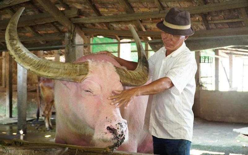 Con trâu màu hồng ở TP HCM được khách trả giá 1 tỷ nhưng chủ không bán