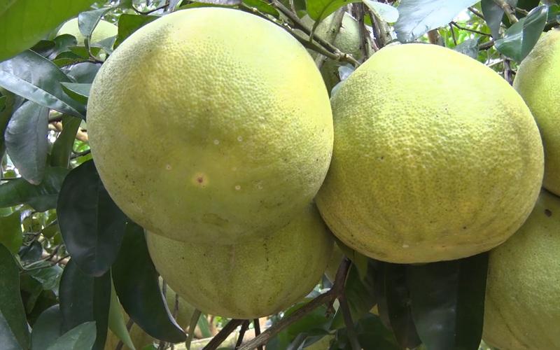 Hòa Bình: Chế thuốc trừ sâu hữu cơ cho cây bưởi bằng tỏi, ớt,… vừa bảo vệ sức khỏe lại tăng thu nhập