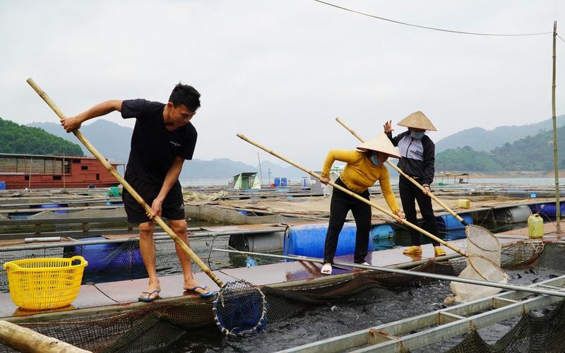 Thu 40 tỷ nhờ nuôi cá đặc sản trên lòng hồ thủy điện