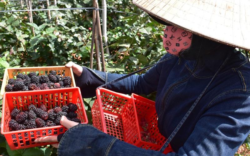 Lâm Đồng: Quả dại đen xì từng chả ai ngó ngàng, du nhập từ châu Âu, khách xôn xao mua về ăn