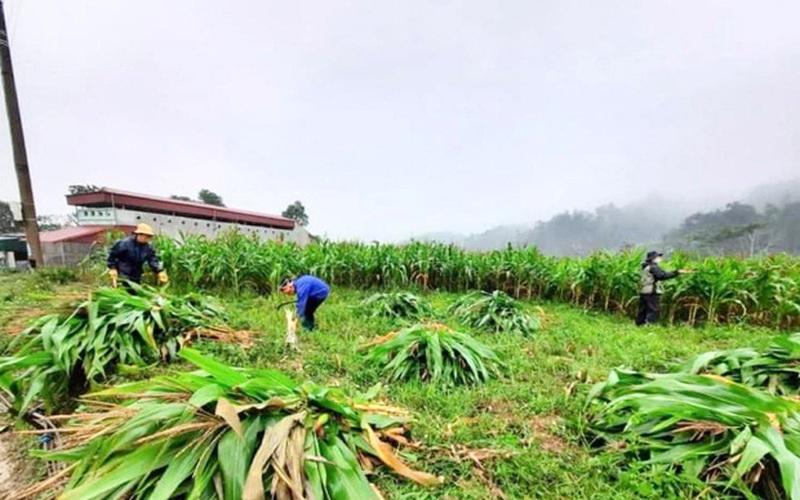 Hà Giang: Vì sao trồng ngô không cần lấy bắp nông dân vẫn chặt bán được giá cao?