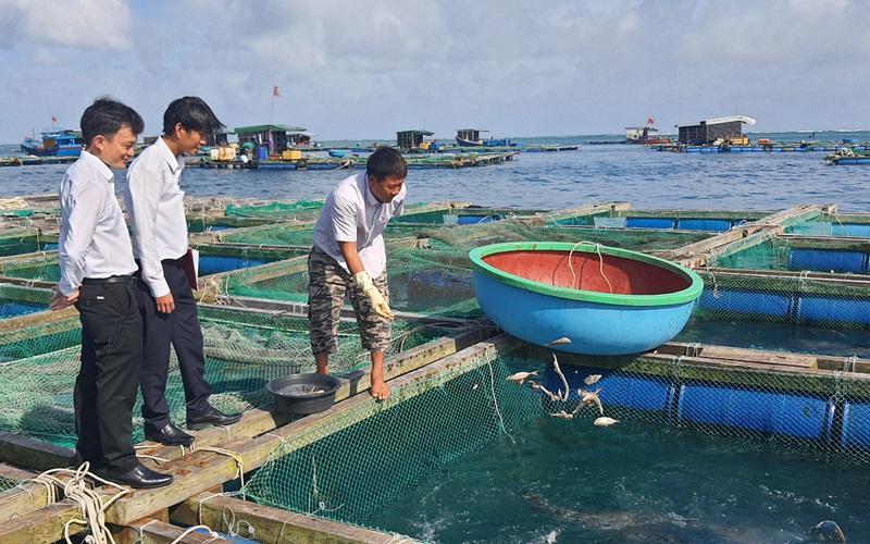 Nông dân Lý Sơn đổi đời, doanh thu đạt hàng tỷ đồng nhờ nuôi loài cá háu ăn, thịt thơm ngon