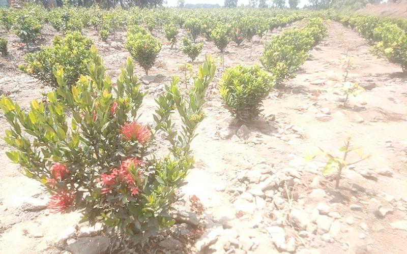 """Long An: Trồng mai vàng bán Tết có những vụ bết bát, """"liều"""" trồng xen cây hoa đỏ từng chùm này có khá hơn?"""