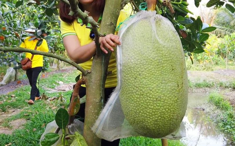 Giá mít Thái hôm nay 14/3 (cập nhật): bán trái mít 32kg có hơn 1,2 triệu, giá mít Thái Tiền Giang cao nhất thị trường